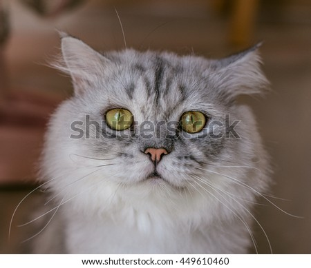 Closed up of portrait Chin chi la/ Silver cat looking photography , Green eyes cat  - stock photo