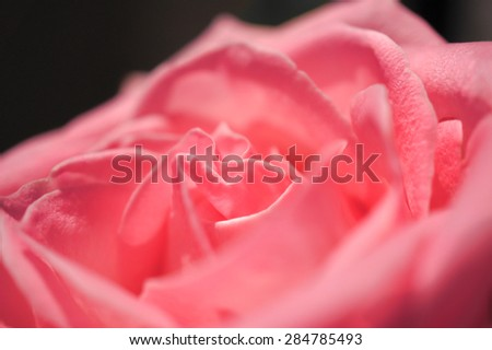 Closed up of Rose, Selective Focus, Isolated on Black Background