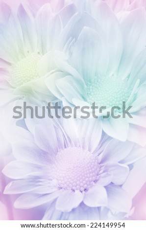 Closed-up of Spray Type of Chrysanthemum (Dendranthemum grandifflora) with soft dreamy glow effect. - stock photo