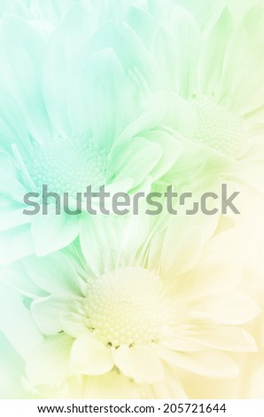Closed-up of Spray Type of Chrysanthemum (Dendranthemum grandifflora) with Soft Focus Color Filtered as Background. - stock photo
