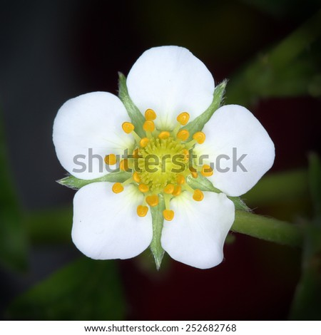 Closed up of strawberry flower - stock photo