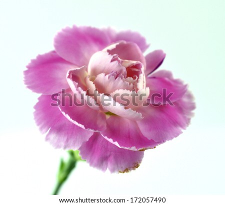 Closed up of Sweet Pink Carnation flower on white background - stock photo