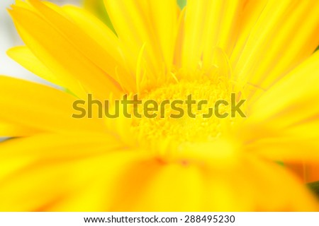 Closed up of Yellow Daisy, Low Clarity, Soft and Dreamy Effect, Blur for Background - stock photo