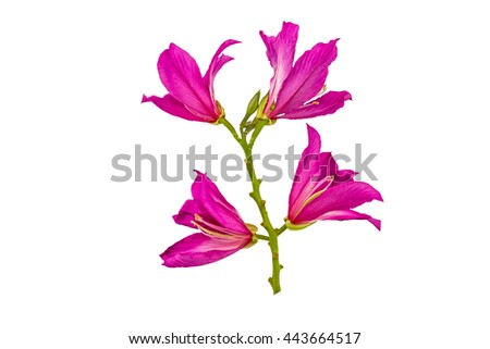 Closed up pink Bauhinia purpurea isolate flower or Butterfly Tree, Orchid Tree, isolated on white background.Saved with clipping path.