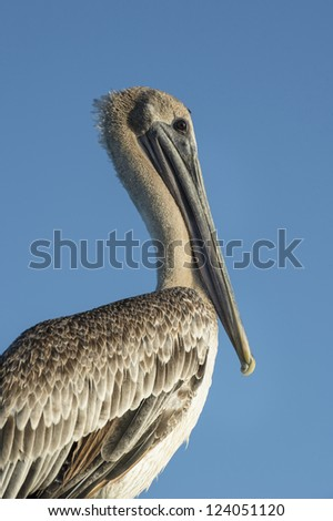 Closed up profile of a brown pelican over a blue sky background - stock photo
