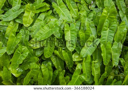 Closed-up shot of a green tropical leaves with waterdrop - stock photo
