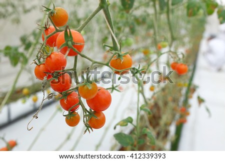 Closed up small tomatoes in organic farm. Red Holland Cherry Farm