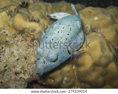 closed up the blackspotted puffer at south andaman, Thailand  - stock photo