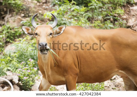 closed up Wild Cattle eating the grass  - stock photo