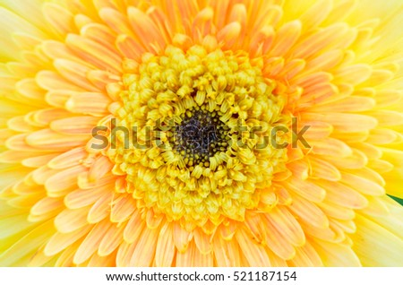 closed up yellow gerbera flowers