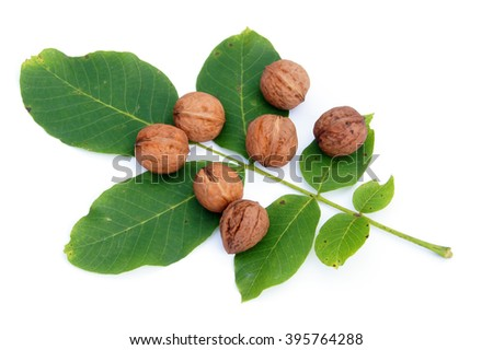 Closed walnuts lying walnuts' leaves - isolated on white                  - stock photo