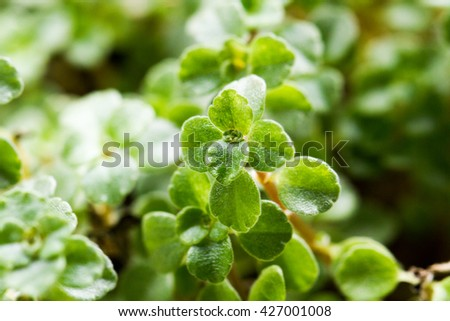 Closeof of houseplant from the succulent plants family (succulents or fat plants) - stock photo