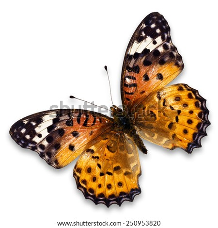 Closeup a beautiful orange butterfly ( Leopard Lacewing, Cethosia cyane) isolated on white background - stock photo