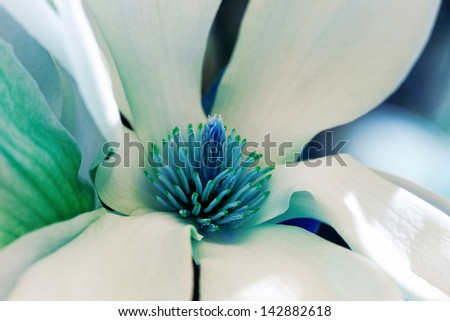 Closeup about a blossom Magnolia tree with color filter - stock photo