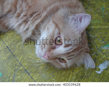 Closeup Abyssinian Cat Curiously Looking  - stock photo