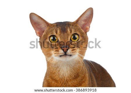 Closeup Abyssinian Cat Curiously Looking in Camera isolated on White background - stock photo