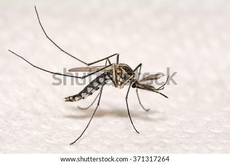 Closeup Aedes aegypti or common house mosquito. - stock photo