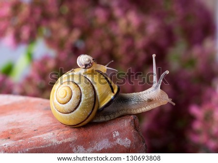 Closeup af a Yellow and Black banded Snail carrying a tiny snail on her back - stock photo
