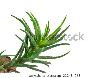Closeup Aloe vera plant on isolate white background