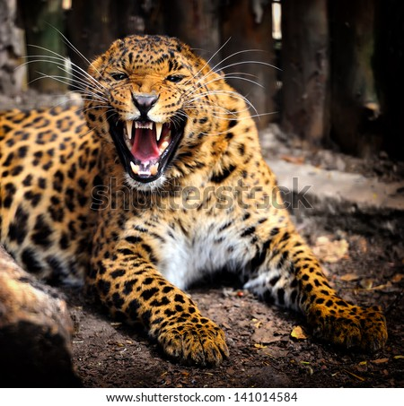 Closeup angry leopard - stock photo