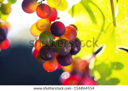 Closeup autumn grapes in a vineyard - stock photo
