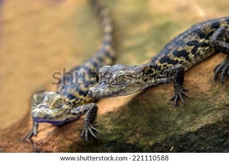 closeup baby Crocodile - stock photo
