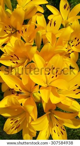 Closeup background of beautiful yellow lily - stock photo
