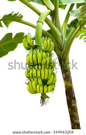 closeup banana on tree isolated on white background