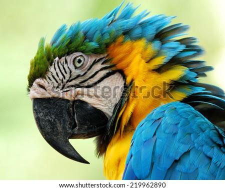 Closeup beautiful bird Blue and Gold Macaw. - stock photo