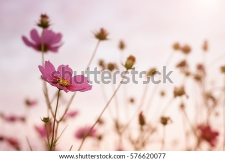 Closeup beautiful pink cosmos flower in morning at garden