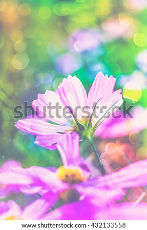 Closeup beautiful pink cosmos flowers blooming in the garden at the day time on blurred nature background. Shallow depth of field (dof), selective focus. Outdoors. Vintage picture style. - stock photo