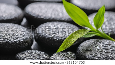 closeup beautiful spa background of green branch bamboo on zen basalt stones with dew, panorama