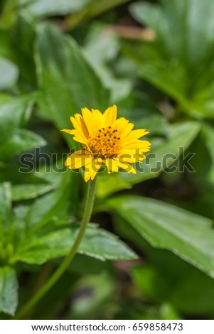 Closeup beautiful yellow flower called climbing stock photo royalty closeup beautiful yellow flower called climbing wedelia or wedelia trilobata with green leaves and flower mightylinksfo