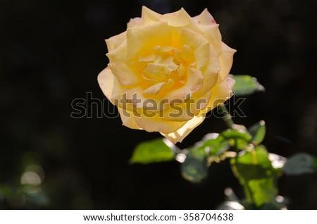 Closeup  beautiful yellow rose - stock photo