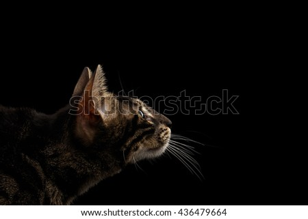 Closeup Bengal Cat Face with Green eyes in Profile view, isolated on Black Background
