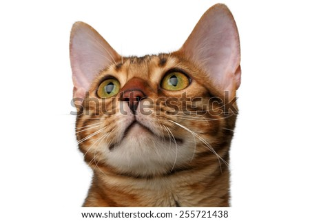 closeup bengal cat isolated on white background - stock photo