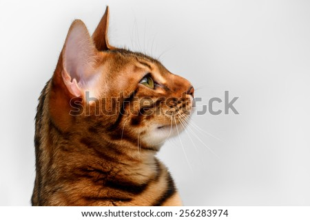 closeup bengal cat looking up on white background, side view  - stock photo