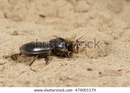 Closeup black beetle (Scarites bucida) is eating the grasshopper on sand in desert. Jungle law. small DoF focus put only to head grasshopper