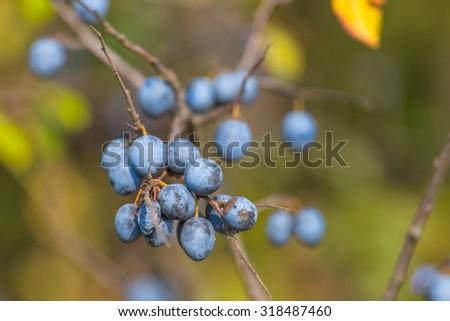 closeup blackthorn branch - stock photo
