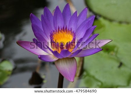 Closeup blooming blue and light blue waterlily