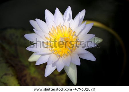 Closeup blooming white  waterlily in the pond