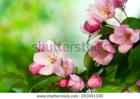 Closeup blossoming apple-tree brunch with white and pink flowers after rain. Soft focus.  - stock photo