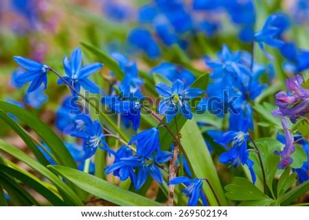 closeup blue flowers - stock photo