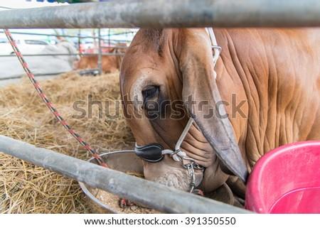 Closeup brahman cow in cage,korat,thailand,brown - stock photo
