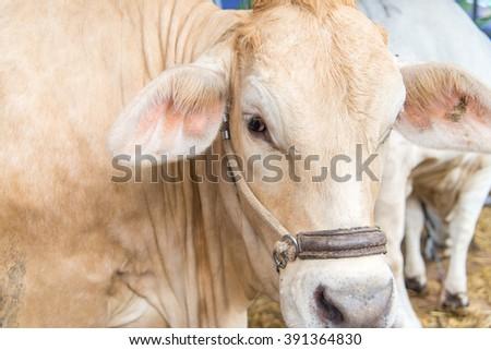 closeup brahman cow,korat,thailand - stock photo