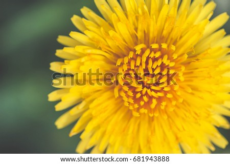 Closeup bright yellow dandelion flower spring, Macro photo. Soft focus. blurred background