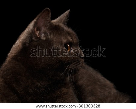 Closeup Brown British Cat in Profile on Black Background - stock photo