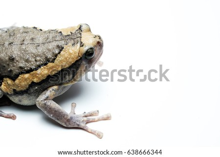 Closeup Bullfrog (Kaloula pulchra, Microhylinae) isolated on white background