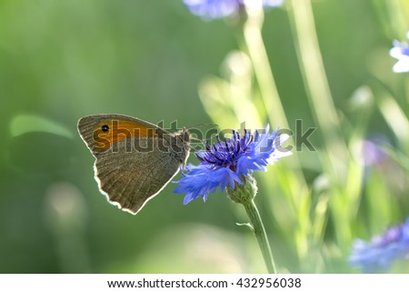 closeup Butterfly Dusky Meadow Brown (Hyponephele lycaon) on a flowered cornflower against sunlight. soft focus, shallow DOF.  - stock photo