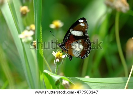 Closeup butterfly on flower (Common tiger butterfly)